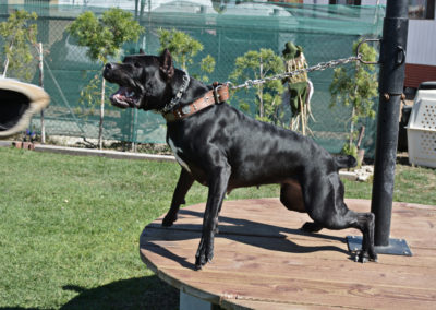 TACK9-Ambassador-Domina---personal-protection-Cane-Corso-training-on-Fight-Table-2