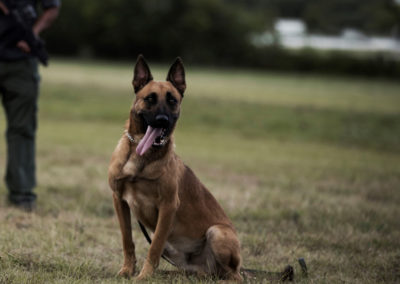 TACK9-personal-protection-working-K9-Belgian-Malinois-with-armed-security-gallery