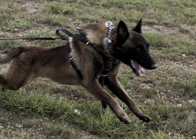 TACK9-personal-protection-working-K9-parachute-sprint-Belgian-Malinois-sled-pull-gallery
